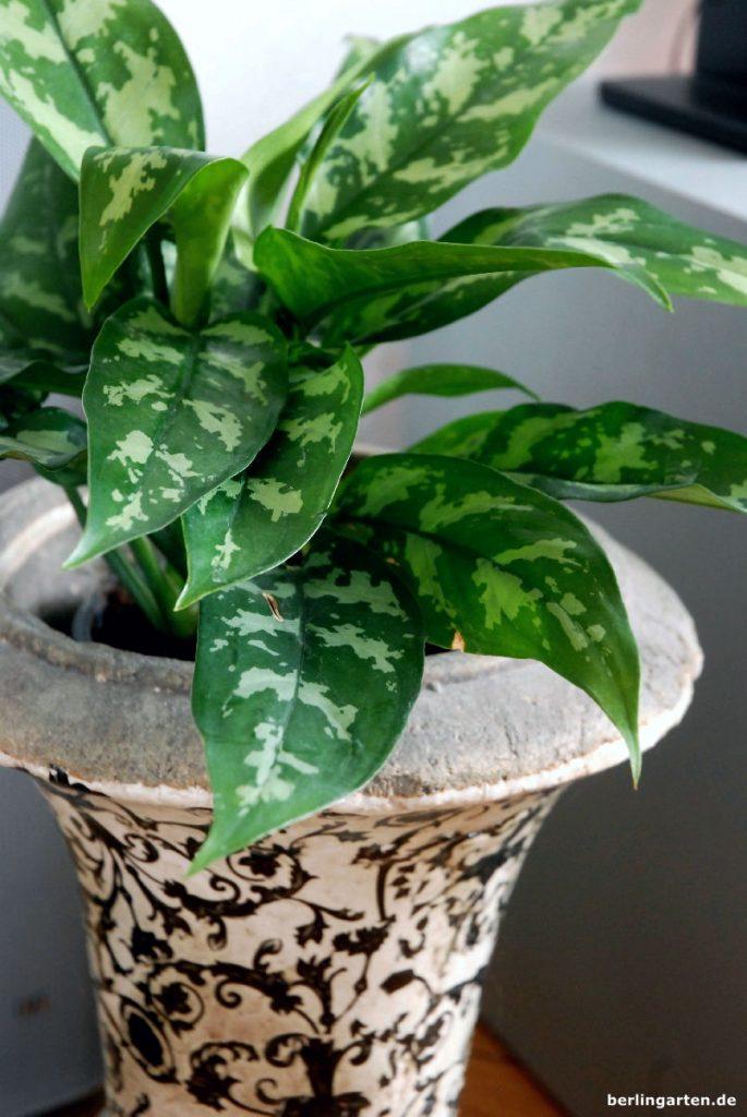 Die Aglaonema Maria ist eine hübsche, kleine Blattschmuckpflanze