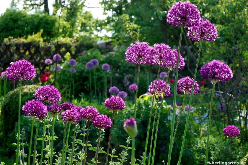 Alliumparade