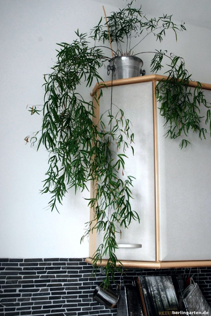 Der Zierspargel Asparagus densiflorus wächst überaus locker, wenn er entfernt vom Fenster steht