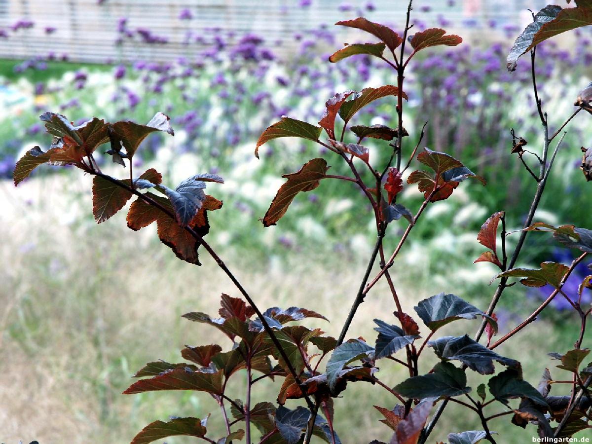 blasenspiere physocarpus opulifolius 39 diable d 39 or 39 berlingarten. Black Bedroom Furniture Sets. Home Design Ideas