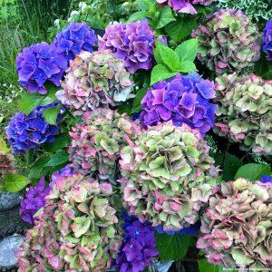 Für blaue Hortensien muss man beim Düngen nachhelfen. Es gibt spezielle Präparate, die alaunhaltig sind