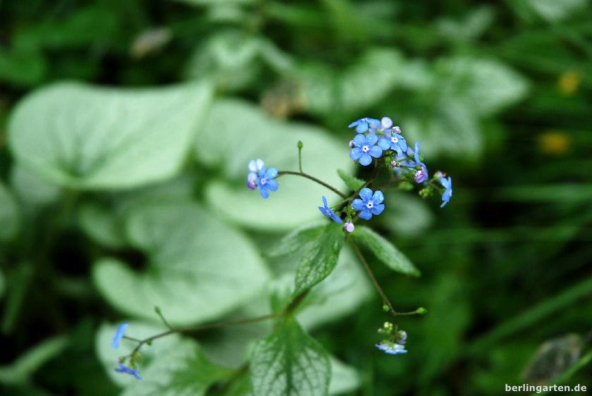Kaukasusvergissmeinnicht - Brunnera macrophylla 'Jack Frost'