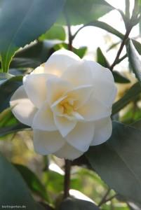 Camellia Leucantha