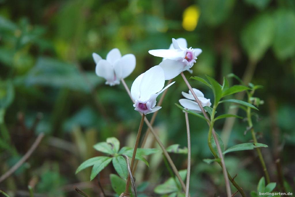 Wie eine kleine Elfe: Cyclamen hederifolium weiß