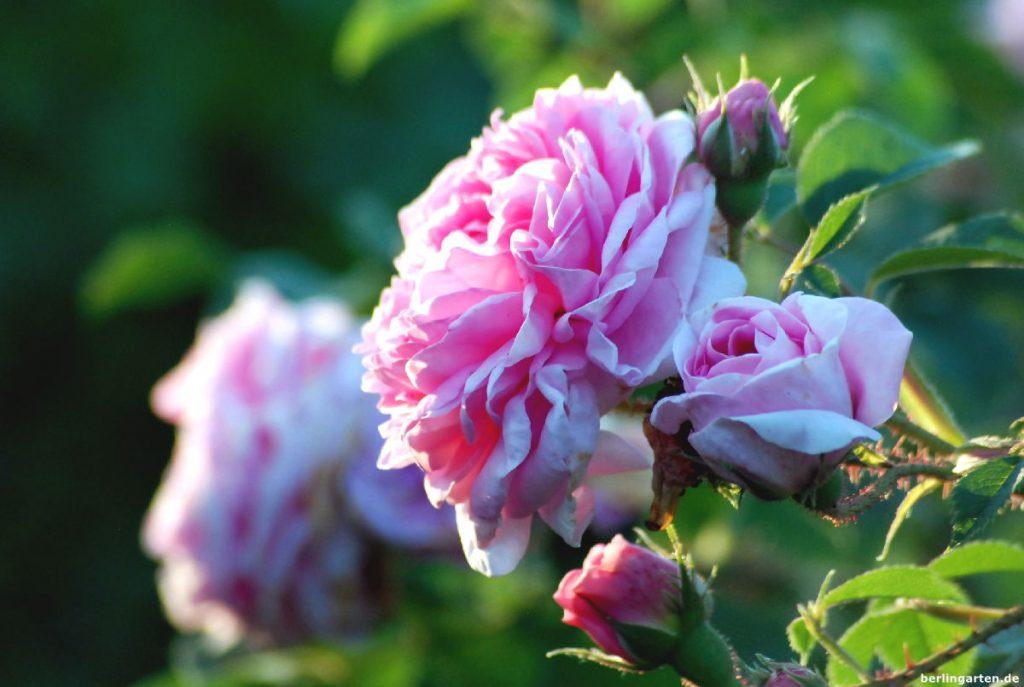 Einzelblüte Rose Königin von Dänemark