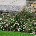 Das Spanische Gänseblümchen Eryngium