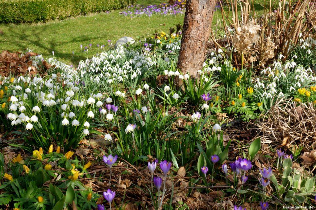 Frühlingsgarten mit Schneeglöckchen, Märzenbechern, Krokussen