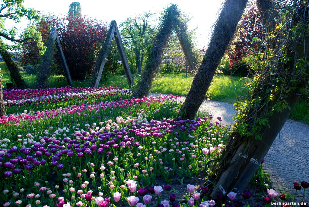 Tulipan Im Britzer Garten ? Berlingarten Tulpen Im Garten Pflanzen