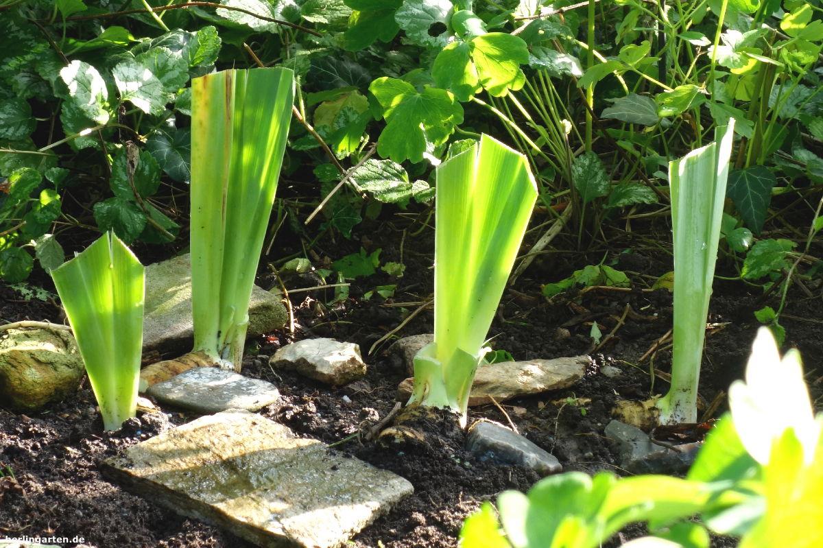 Iris aufgepflanzt