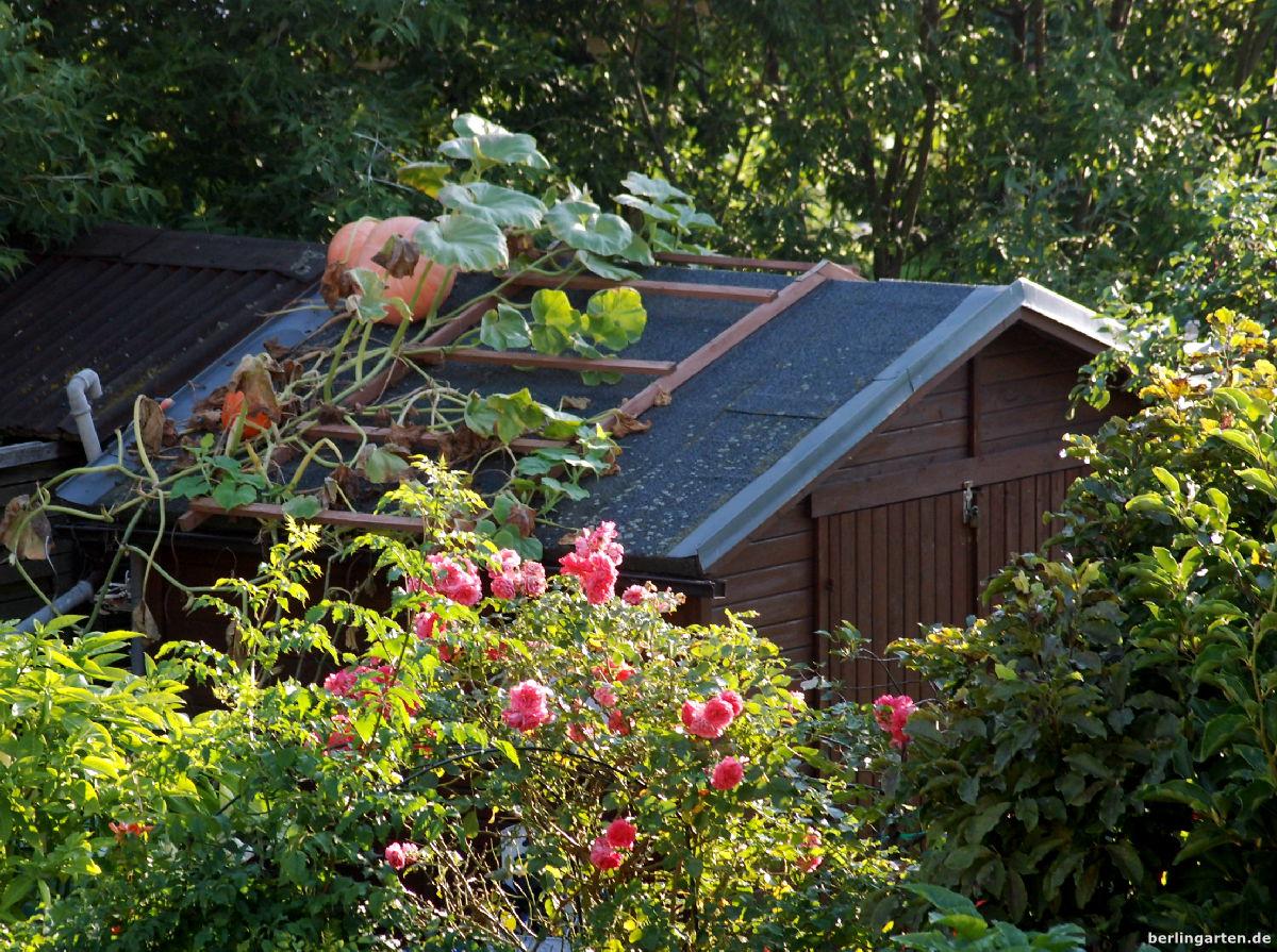 Gärtnern in die Höhe: Kürbis vom Dach