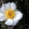 Kamelienschönheit auf Stein Camellia Hybride Kyo Nishiki