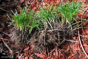 Vermehrung von Krokussen, Schneeglöckchen, Märzenbechern