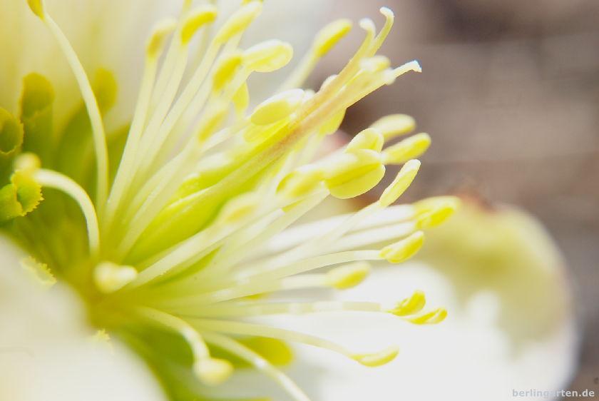 Lenzrose Helleborus