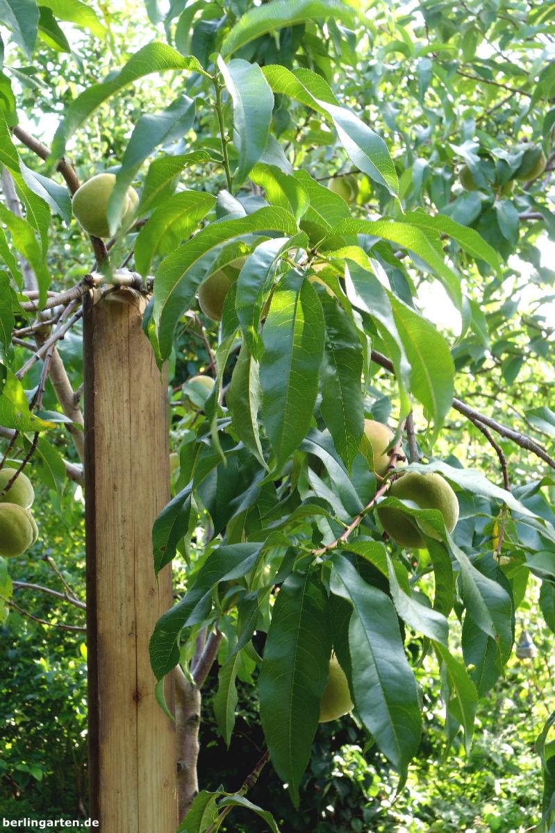 Pfirsichbaum Stütze