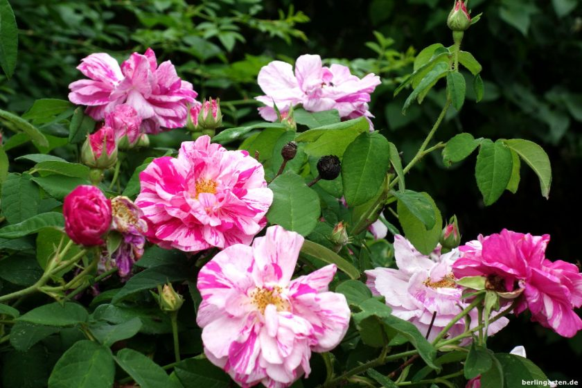 Purpur-rosa gestreift Versicolor