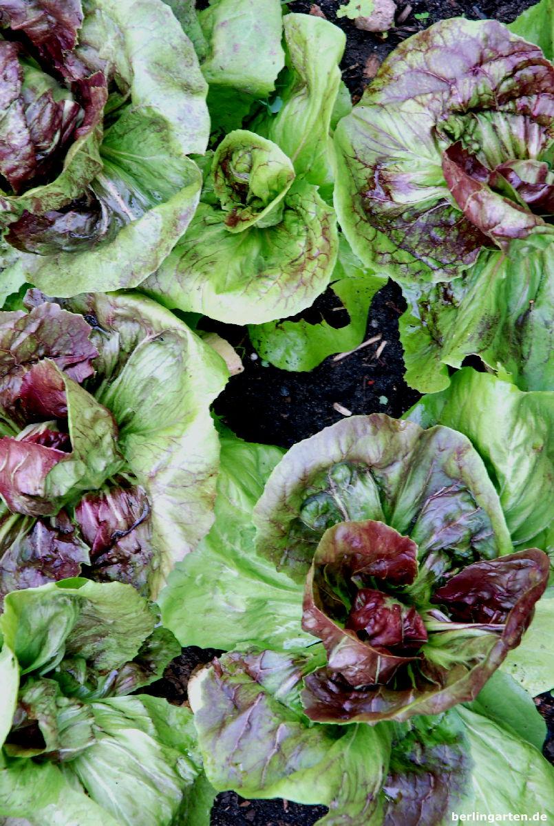 Mein Liebling im herbstlichen Salatbeet: Radicchio
