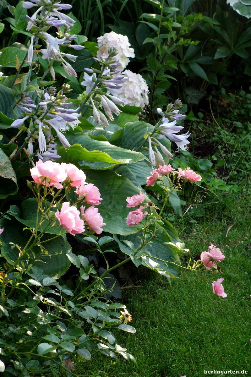 Rose Funkie Hortensie