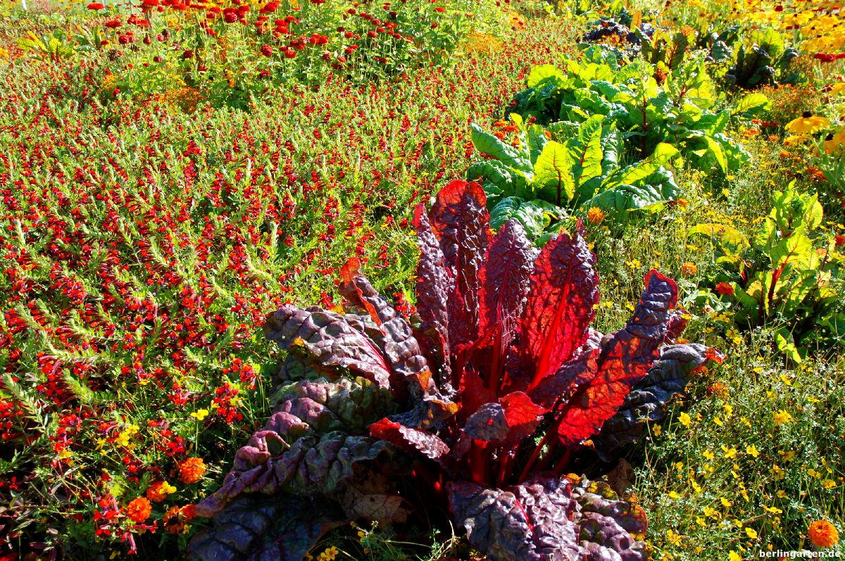 Die Grenzen zwischen Gemüse- und Blumenbeeten verschwimmen - hier roter Mangold