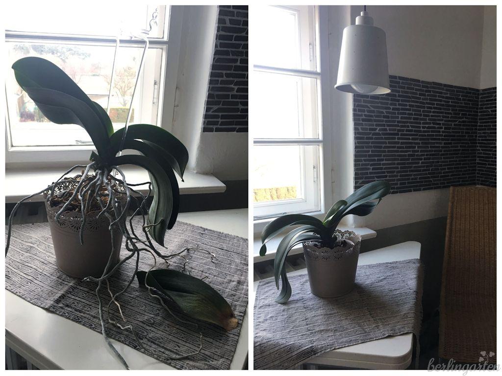 Orchideen topfen
