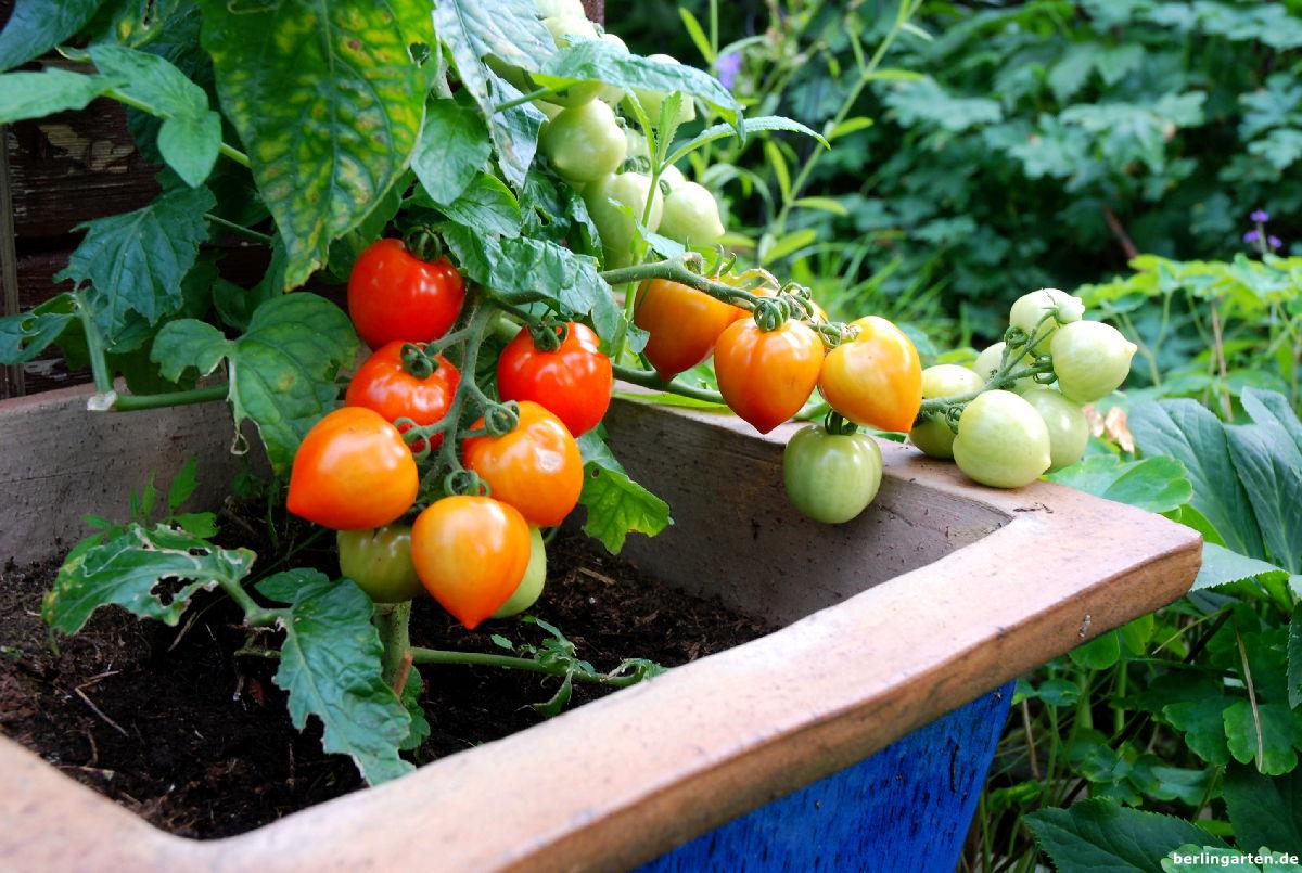Tomate Heartbreakers® 'Vita'F1