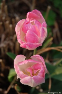 Tulpe Royal Ten