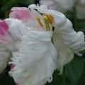 Tulpe spontane Mutation