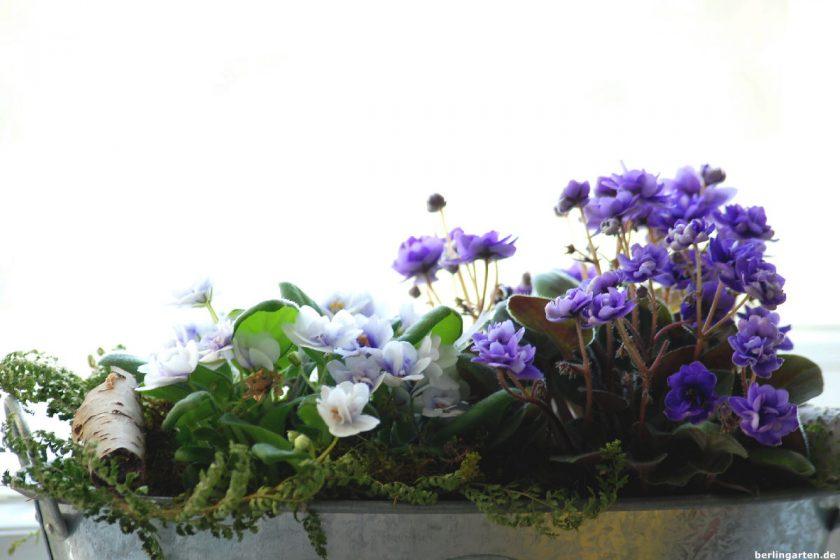 Usambaraveilchen New Ballerina's Blooms