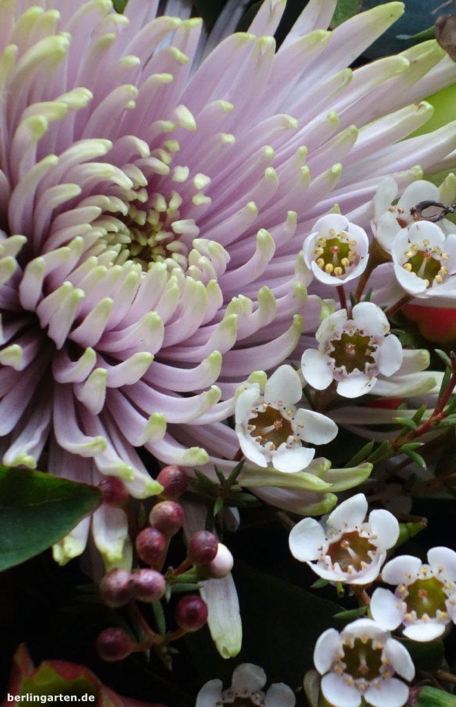 Wachsblume und Chrysantheme