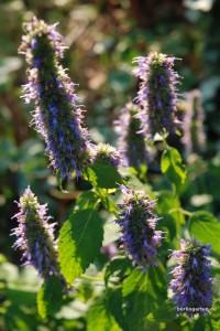 Blaunessel Agastache rugosa 'Blue Fortune'