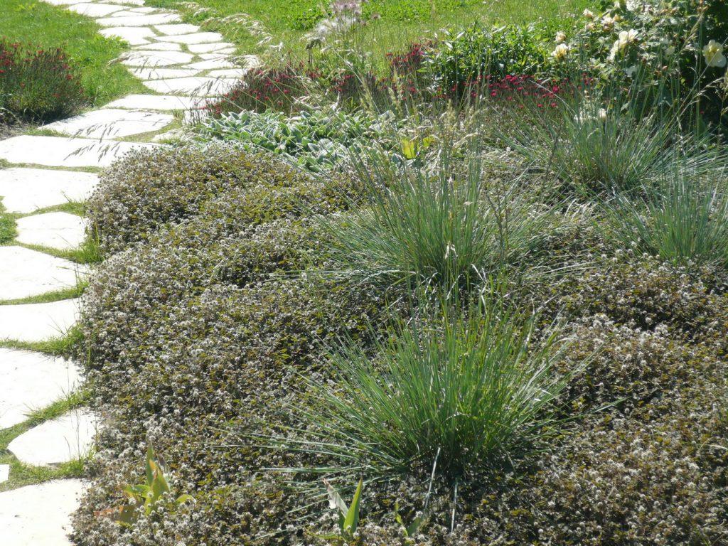 Bedecken ganze Flächen: Avena sempervirens, der Blaustrahlhafer, und Acaena, das Stachelnüsschen