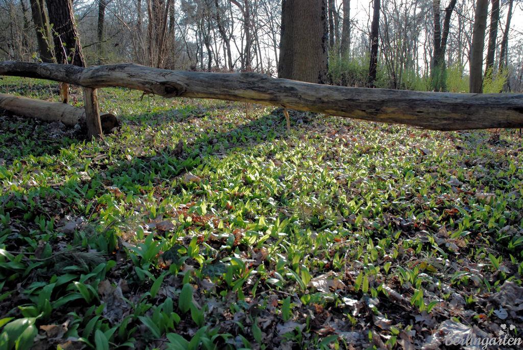 Bärlauch pankow botanischer volkspark Botanische Führungen