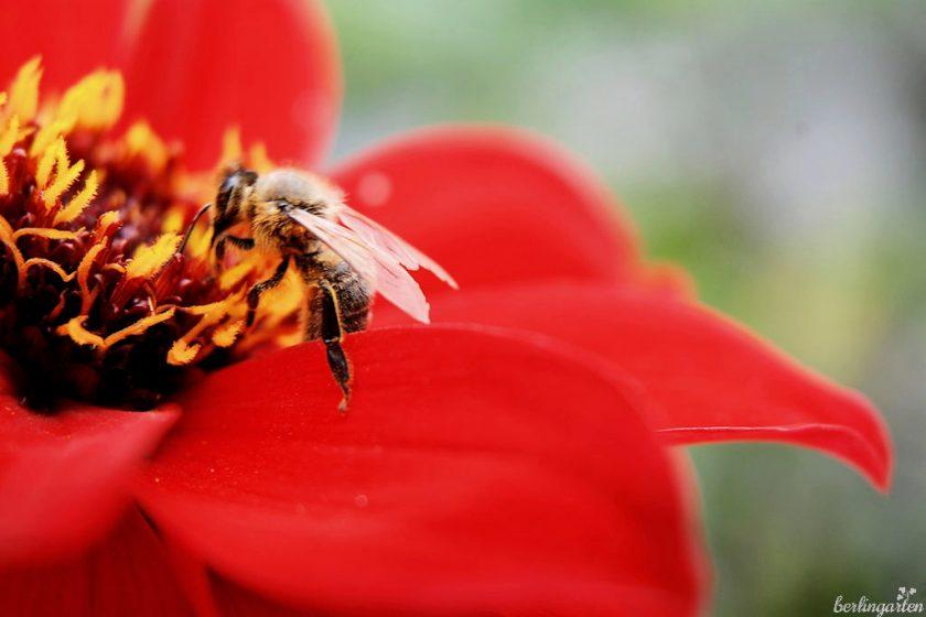 Biene labt sich am Nektar