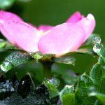 Blüte Merosa
