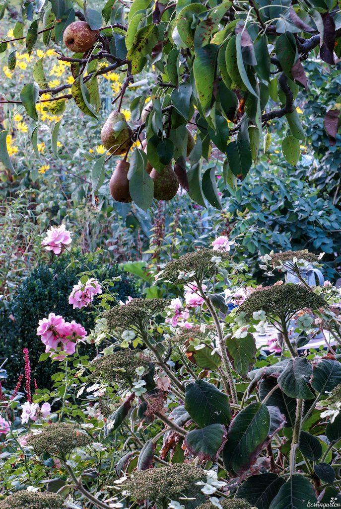 Bonica zur Zeit der Birnenreife immer noch in voller Blüte. Sie eignet sich auch gut als Schnittblume