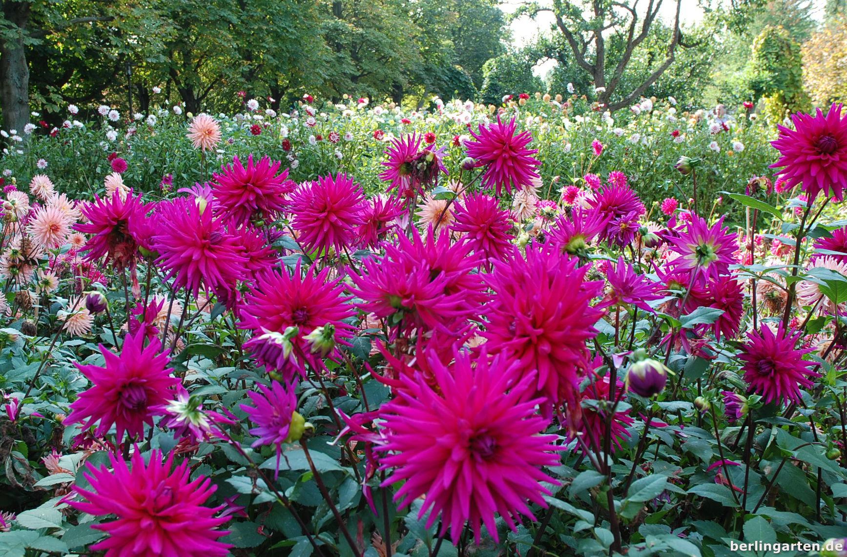 Garten 2021 britzer tulipan TULIPAN 2021
