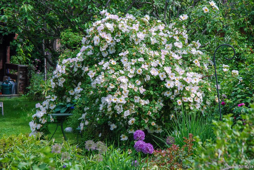 Große Gewächse wie die Parkrose 'Nevada' bringen Üppigkeit und Individualität in den Garten