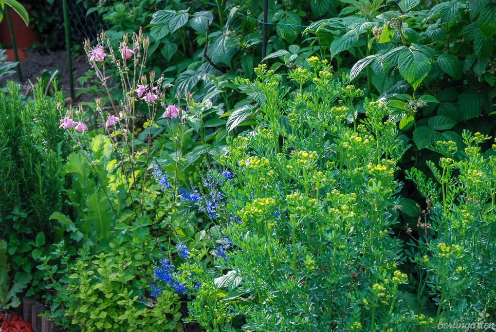 So gärtnere ich: Kräuter, Obst und Blumen wachsen zusammen (Weinraute, Oregano, Melisse, Veronika, Akelei, Rosmarin, Himbeeren)