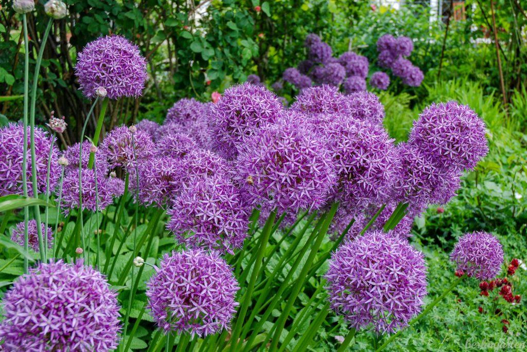 Masse und Klasse: Zierlauch Allium 'Globemaster'