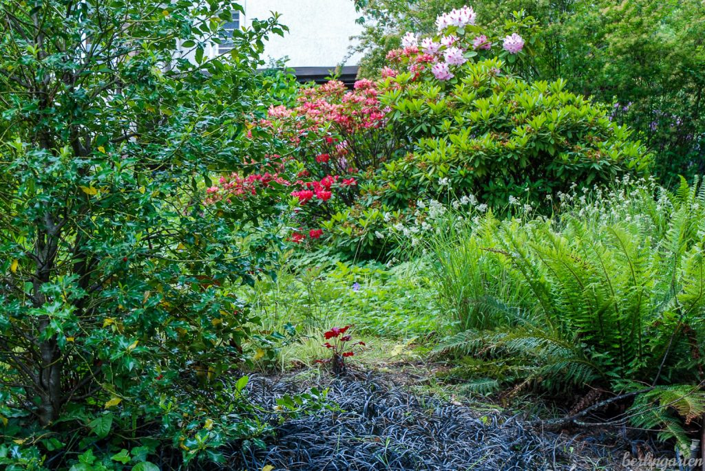 Der Vorgarten mit Rhododendren und Blattschmuckstauden. Ein Hingucker: der dunkle Schlangenbart Ophiopogon planiscapus 'Niger'