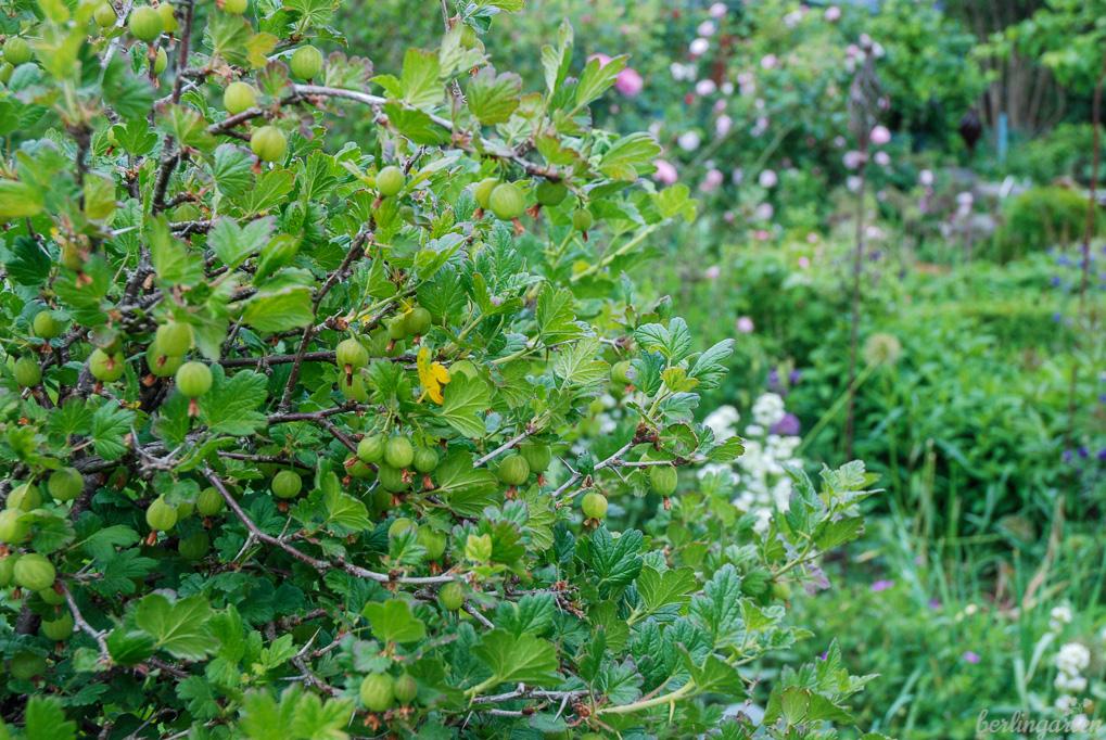 Warum immer nur Rosen? Stachelbeeren fügen sich wunderbar als Hochstamm in Staudenrabatten ein