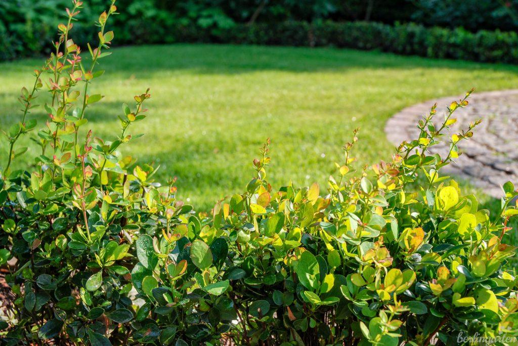 Buchsbaumschädlinge machen auch vor einem Traumgarten nicht Halt: Die Polsterberberitze Berberis buxifolia wächst hier gerade zum Ersatz heran