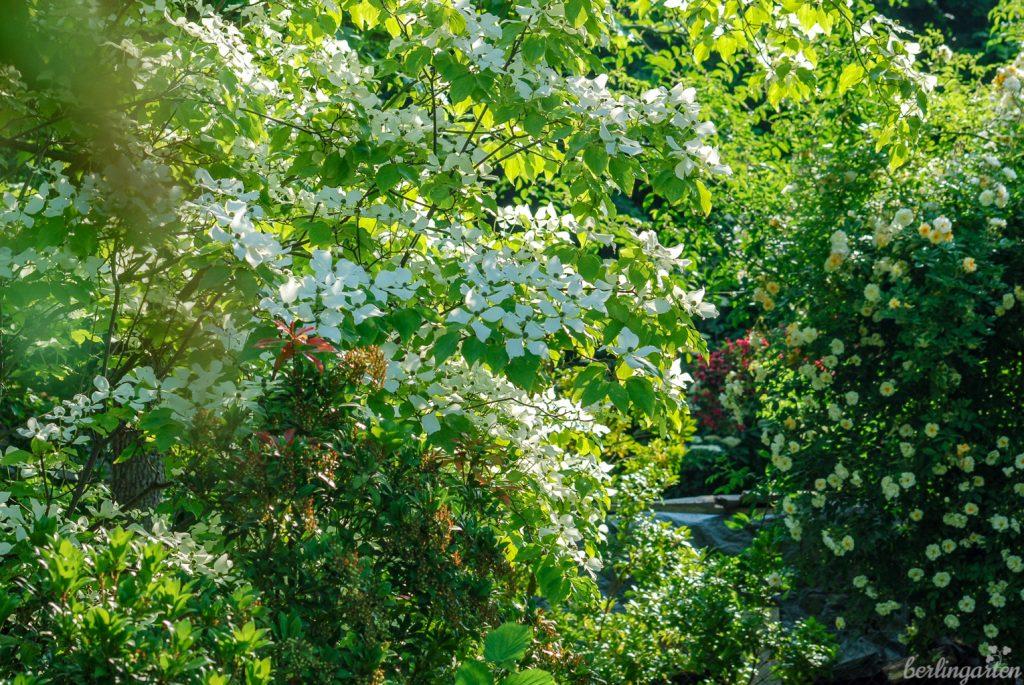 Im Garten Bischoff gibt es nicht nur Rosen, sondern zahlreiche schöne Gehölze wie diesen Blumenhartriegel. Im Hintergrund die gelbweiße 'Ghislaine de Féligonde'