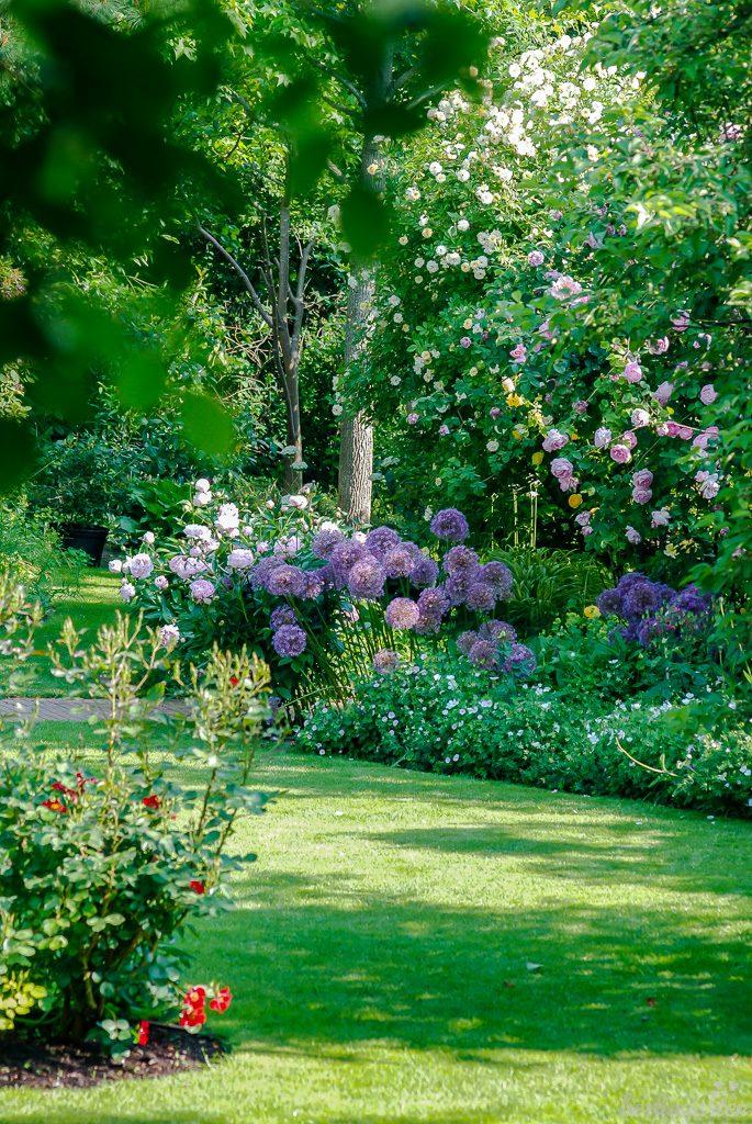 Im frühen Juni blühen die rosa 'Constance Spry' sowie die gelbe 'Graham Thomas' und die hellgelben Rambler 'Ghislaine de Féligonde und 'Lykkefund' um die Wette