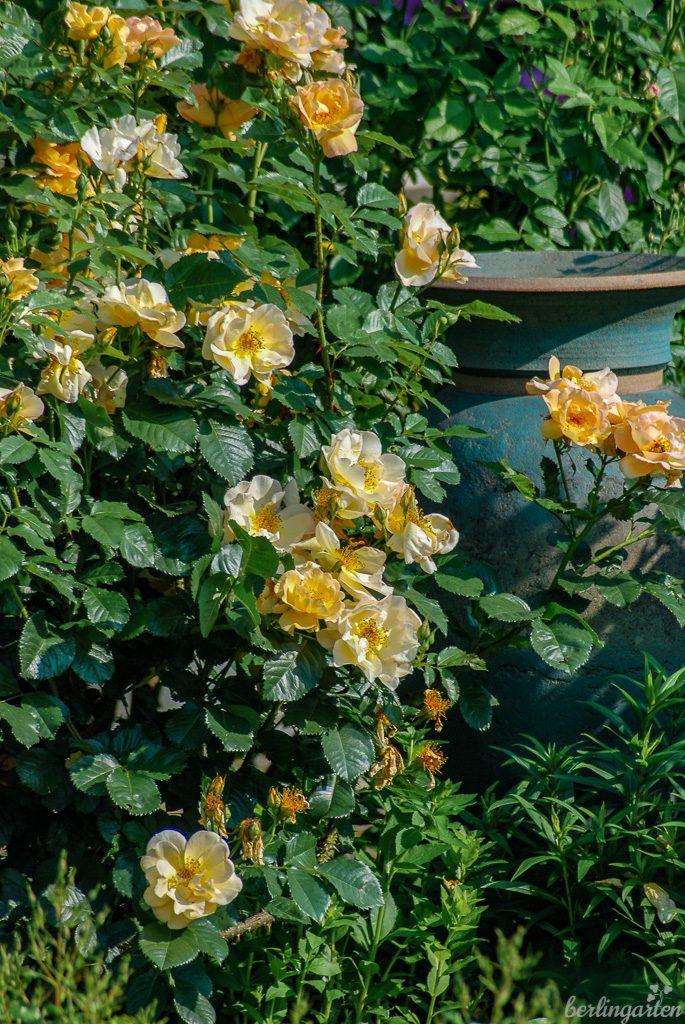 Rose 'Maigold' umschmeichelt die Tonvase aus England