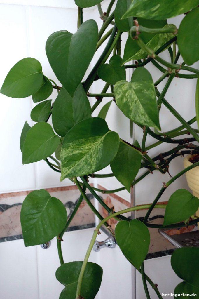 Die Efeutute Epipremnun aureum ist die robusteste Pflanze, die ich kenne