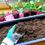 Erdbeeren einpflanzen