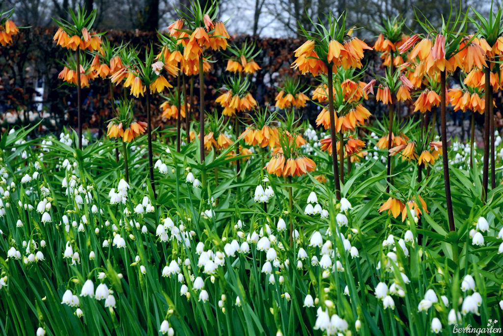 Wie eine Ode an die Freude: Kaiserkrone Fritillaria Beethoven