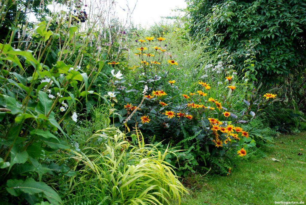 Bei mir im Garten: gelbes Gras und Staudensonnenblume Heliopsis helianthoides var. scabra 'Summer Nights' mit herrlich lilabraunem Laub