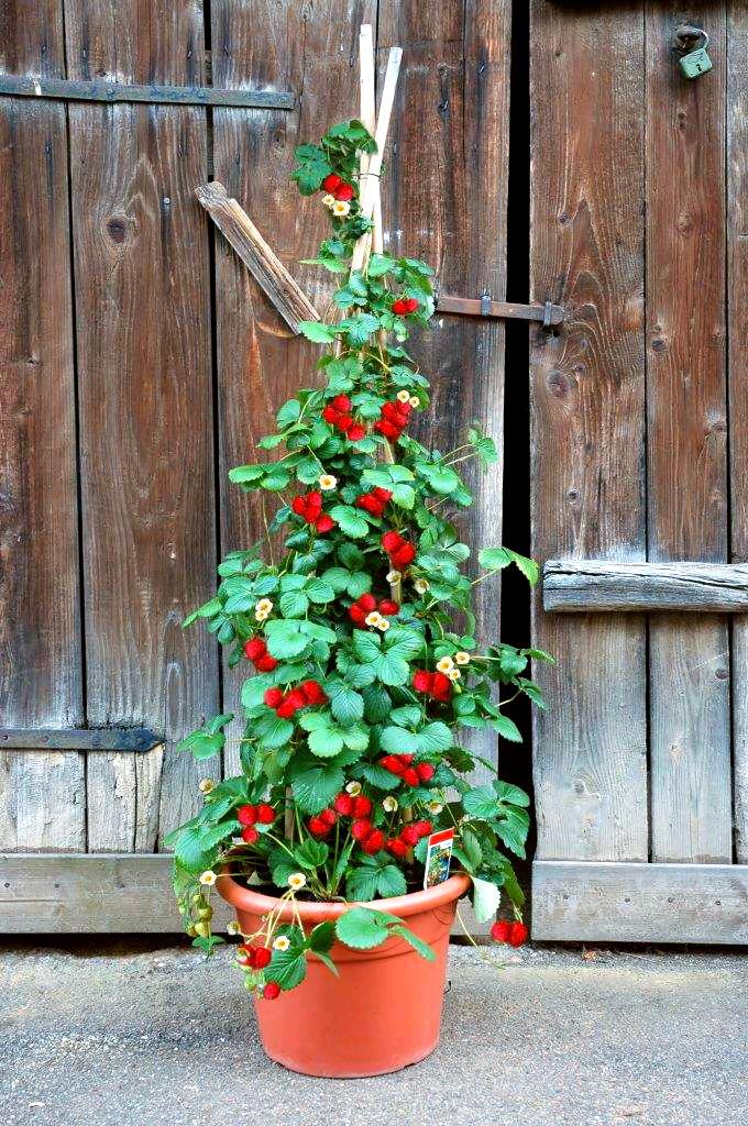 Berühmt Erdbeeren auf Balkon und Terrasse in Topf, Kasten, Kübel, Schale #XO_11