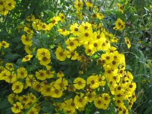 Sonnenbraut Helenium Gelbe Waltraut